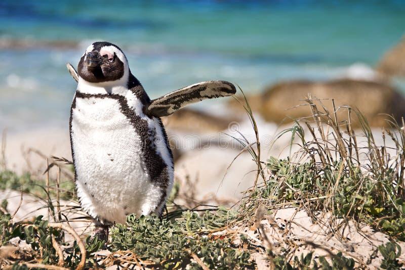 Pingüinos africanos, cantos rodados parque, Suráfrica foto de archivo