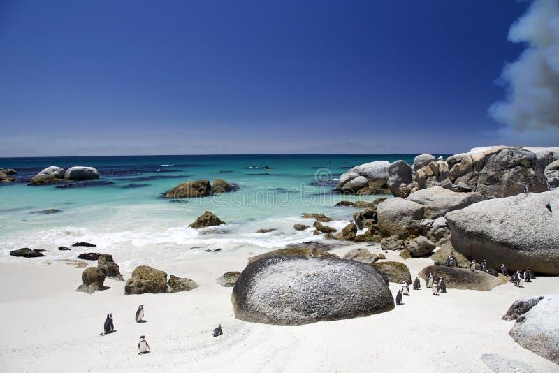 Pingüinos africanos en la playa de los cantos rodados en Suráfrica foto de archivo libre de regalías