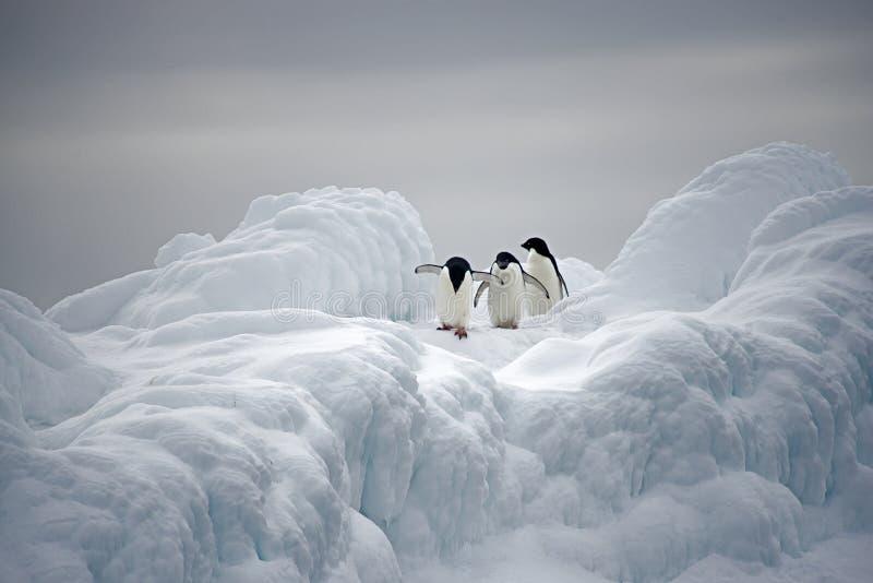 Pingüinos de Adelie en el hielo, mar de Weddell, Anarctica imagen de archivo