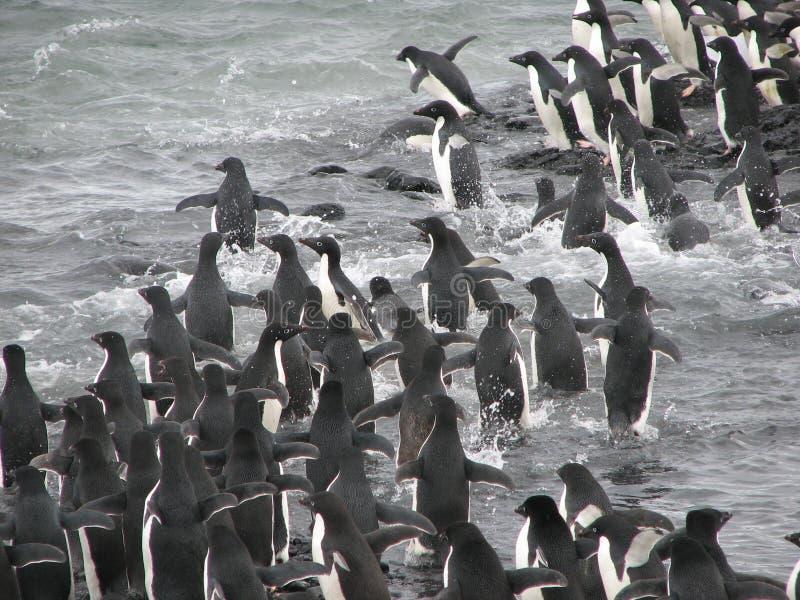 Pingüinos de Adelie que saltan en agua imágenes de archivo libres de regalías