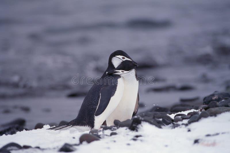 Pingüinos de Chinstrap en Ant3artida foto de archivo libre de regalías