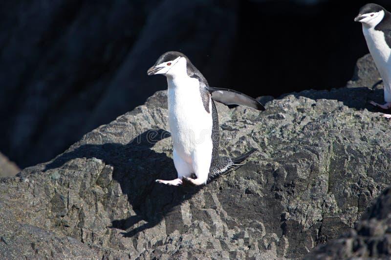 Pingüinos de Chinstrap en la península antártica imagen de archivo libre de regalías