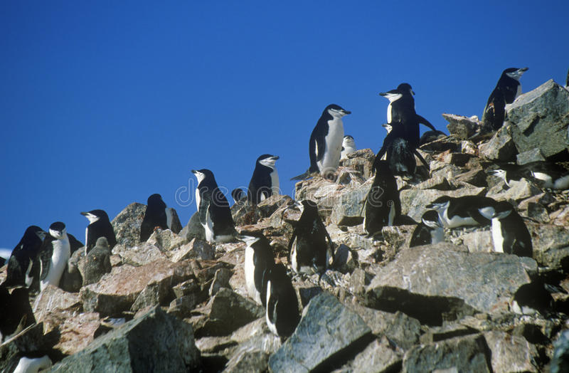 Pingüinos de Chinstrap (Pygoscelis la Antártida) en la isla de la media luna, estrecho de Bransfield, la Antártida imagenes de archivo