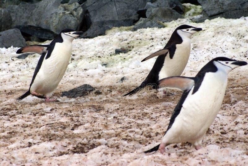 Pingüinos de Chinstrap que caminan en nieve en la Antártida fotografía de archivo libre de regalías