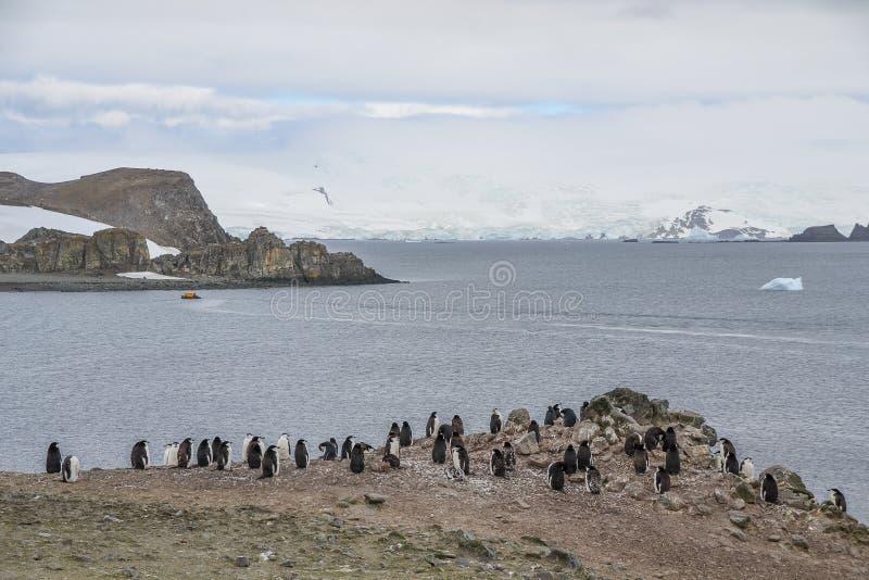 Pingüinos de Chinstrap que se colocan en un terreno rocoso en la Antártida imagenes de archivo