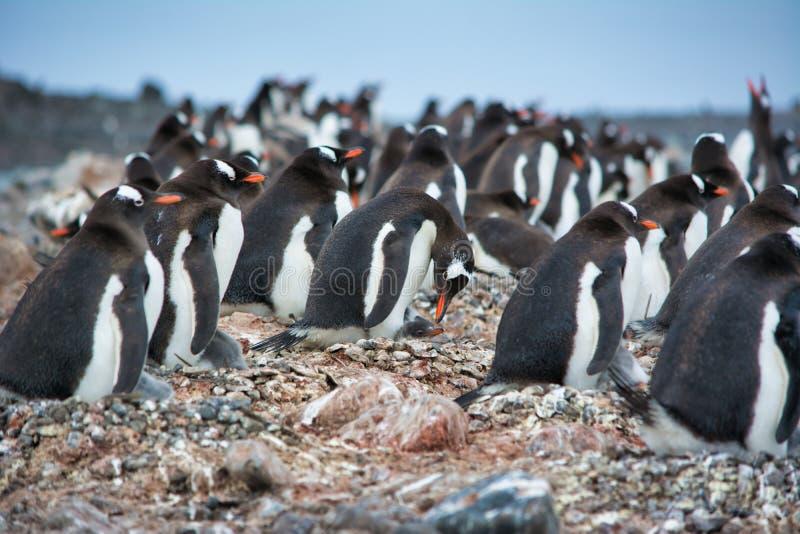 Pingüinos de Colonyof Gentoo en la Antártida foto de archivo