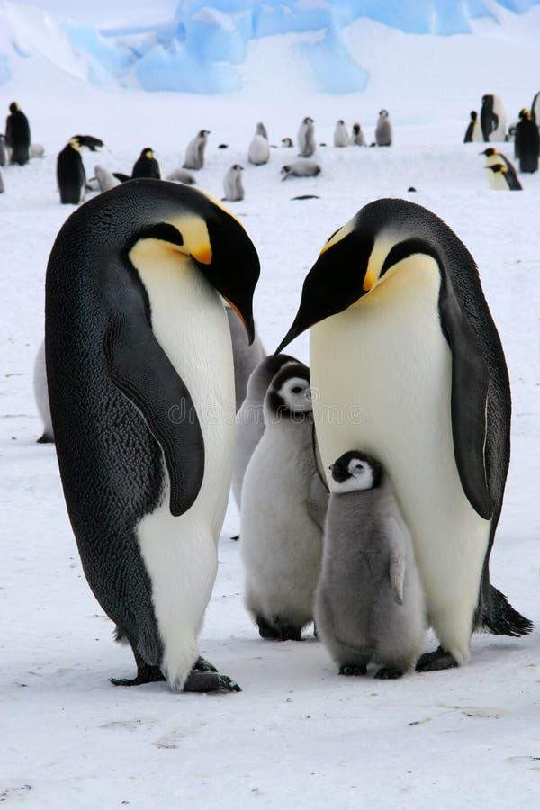Pingüinos de emperador fotos de archivo