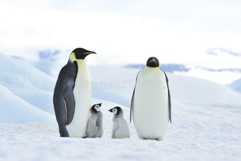 Pingüinos de emperador con el polluelo foto de archivo libre de regalías