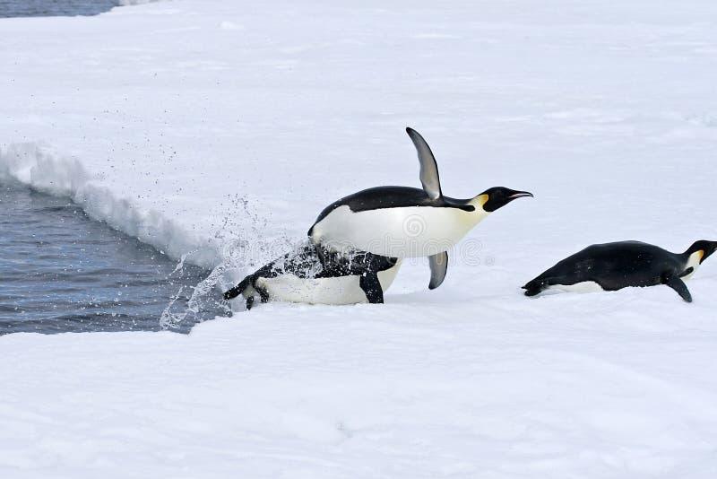 Pingüinos de emperador (forsteri del Aptenodytes) fotografía de archivo libre de regalías