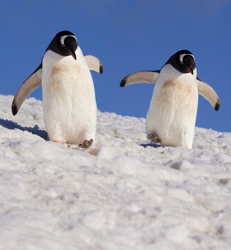 Pingüinos de Gentoo - Ant3artida imagen de archivo