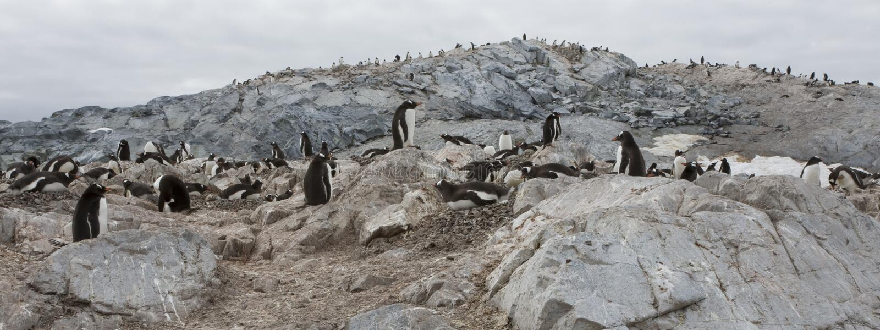 Pingüinos de Gentoo, Ant3artida. fotos de archivo