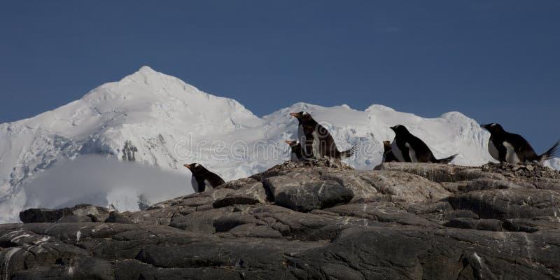 Pingüinos de Gentoo, Ant3artida. imagenes de archivo
