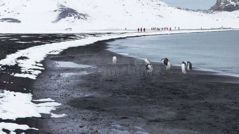 Pingüinos de Gentoo en arena volcánica en la isla del engaño, la Antártida imágenes de archivo libres de regalías