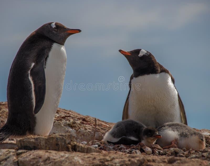 Pingüinos de Gentoo en la Antártida foto de archivo