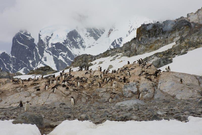 Pingüinos de Gentoo en la península antártica. foto de archivo