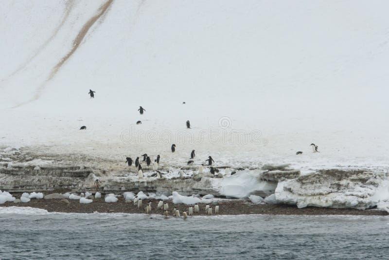 Pingüinos de Gentoo, Neko Harbor, la Antártida imagen de archivo libre de regalías