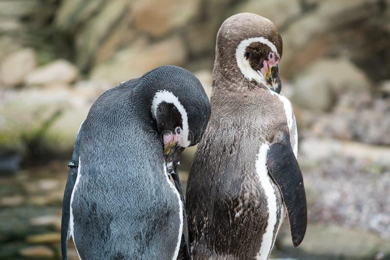 Pingüinos de la tolva de roca imagenes de archivo