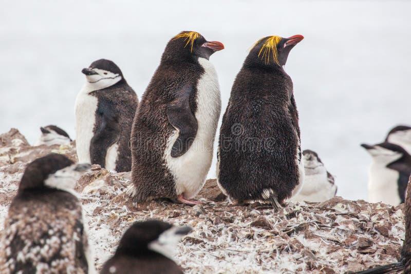 Pingüinos de los macarrones con el pingüino de Chinstrap que camina en la costa foto de archivo libre de regalías