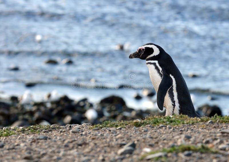 Pingüinos de Magellanic en el santuario del pingüino en Magdalena Island en el Estrecho de Magallanes cerca de Punta Arenas en Ch imagen de archivo libre de regalías