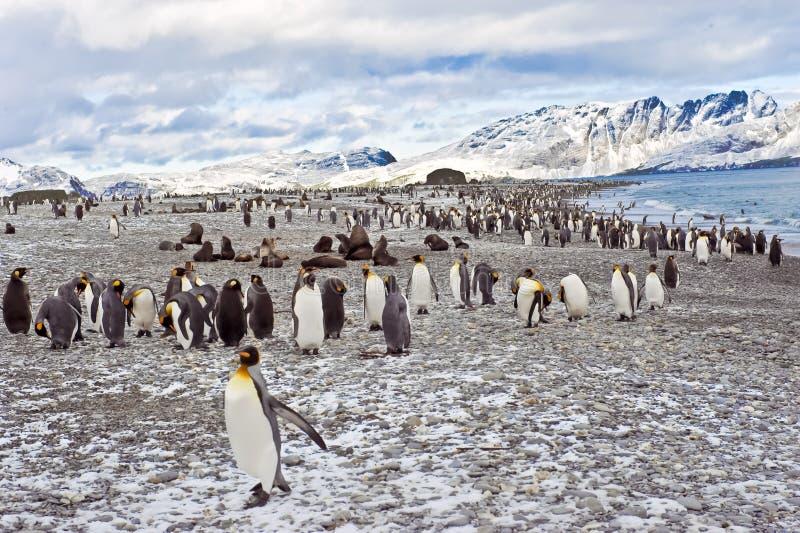 Pingüinos de rey en Georgia del sur imagen de archivo libre de regalías