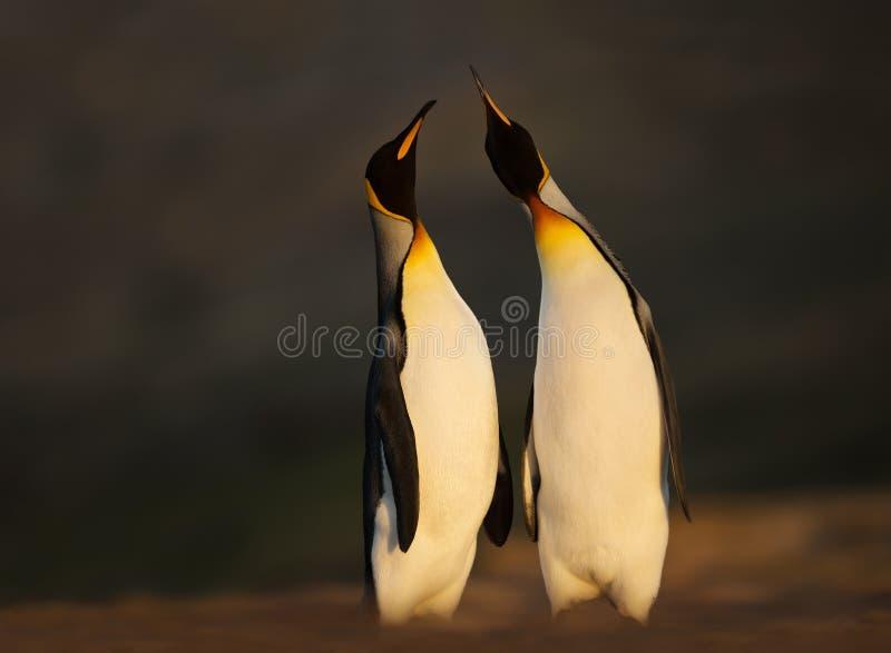 Pingüinos de rey que se colocan en una costa arenosa en la salida del sol imagenes de archivo