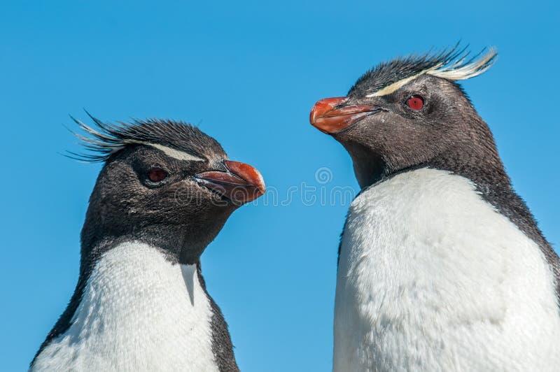 Pingüinos de Rockhopper fotografía de archivo libre de regalías