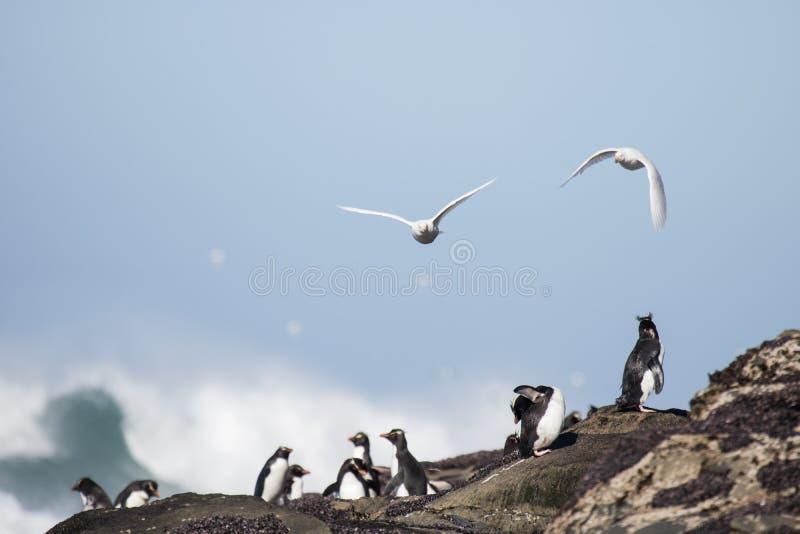 Pingüinos de Rockhopper en la playa rocosa foto de archivo