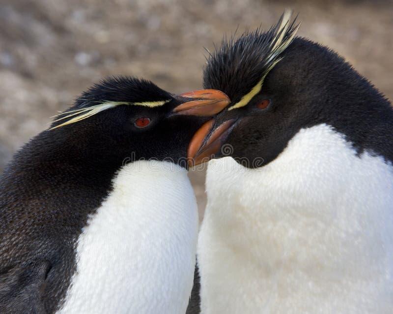 Pingüinos de Rockhopper - Islas Malvinas fotos de archivo