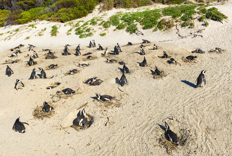 Pingüinos de zopenco colonia, Suráfrica fotografía de archivo