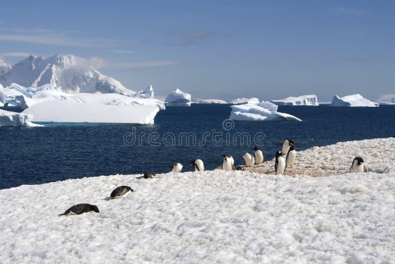 Pingüinos del gentoo de Ant3artida fotografía de archivo libre de regalías