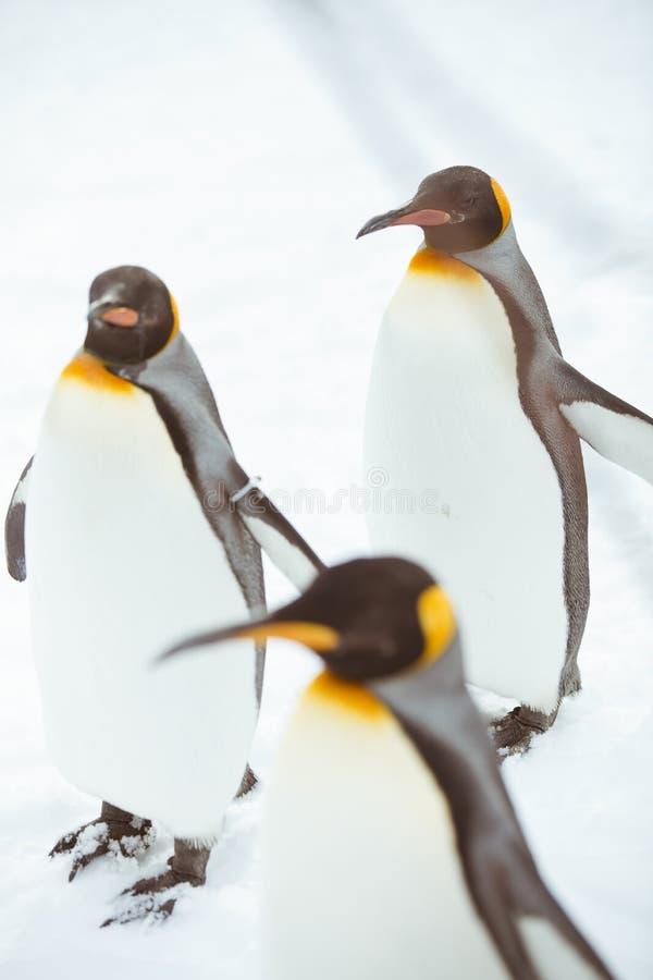 Pingüinos en el parque zoológico de Asahiyama imágenes de archivo libres de regalías