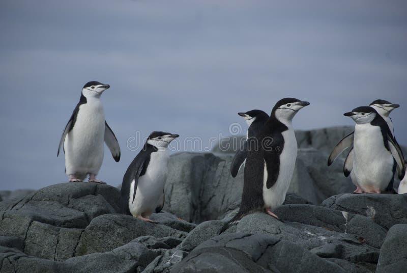 Pingüinos en la orilla foto de archivo libre de regalías