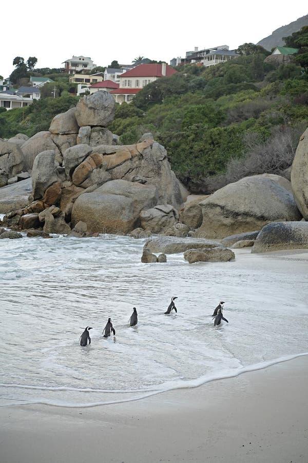 Pingüinos en la playa de los cantos rodados fotografía de archivo