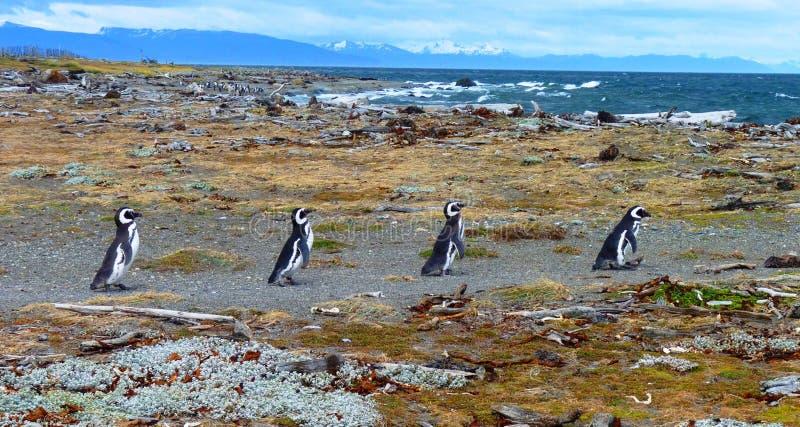 Pingüinos en Suramérica imagen de archivo