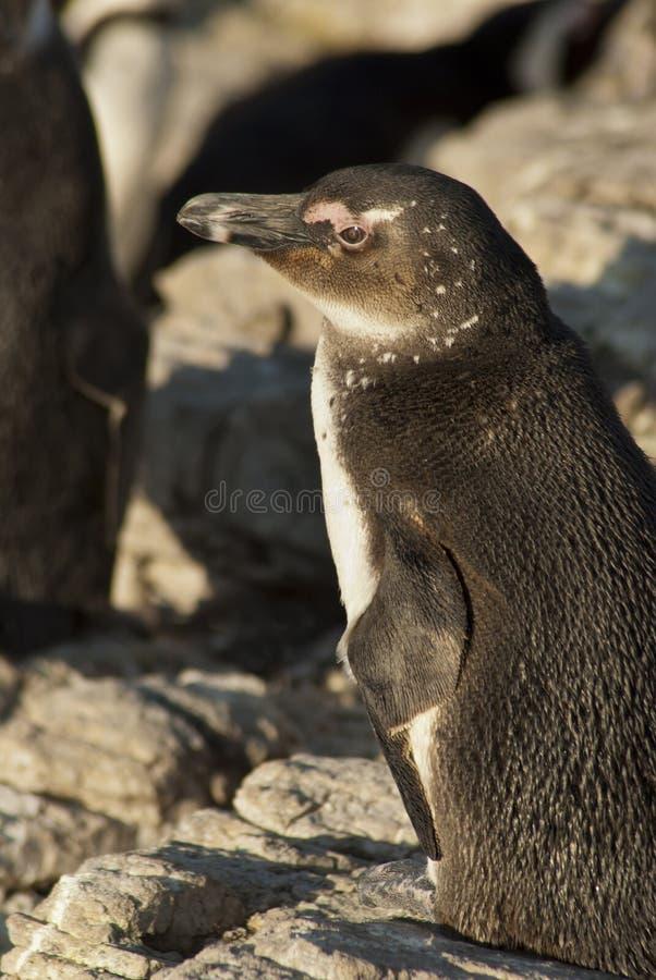 Pingüinos en una playa rocosa fotografía de archivo libre de regalías