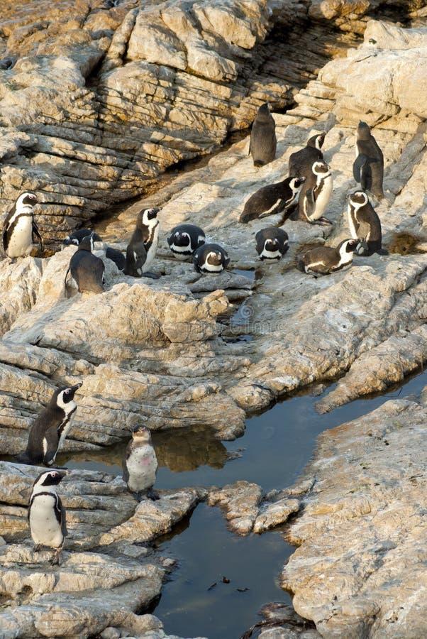Pingüinos en una playa rocosa foto de archivo