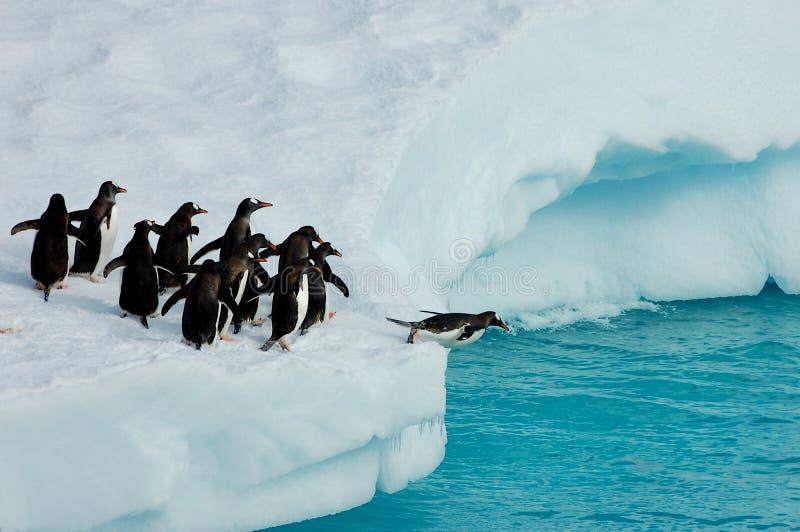 Pingüinos listos para saltar imagenes de archivo