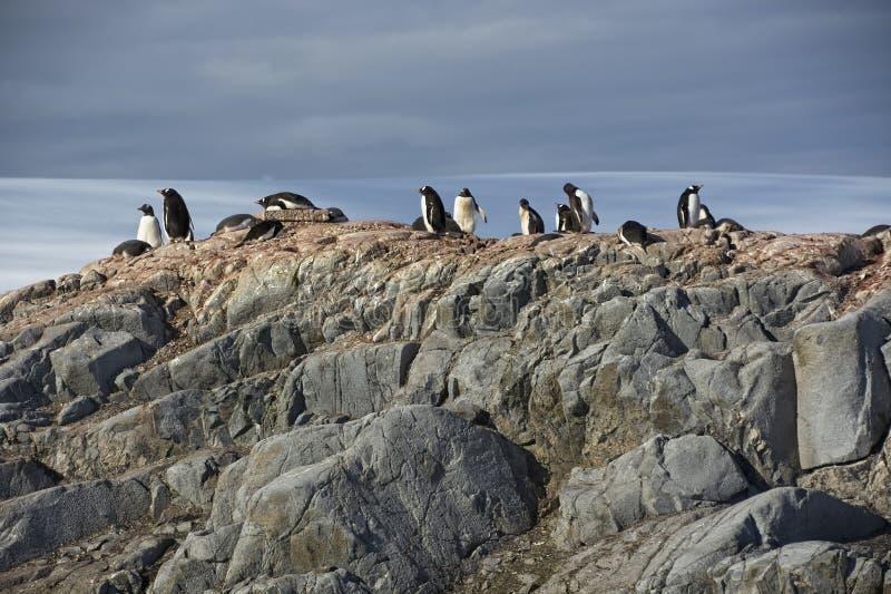 Pingüinos Sun de Gentoo en la Antártida fotografía de archivo