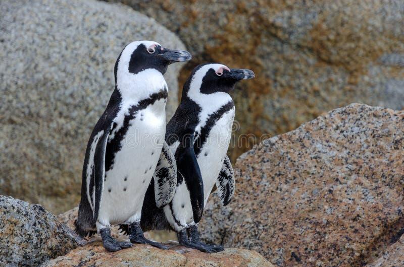 Pingüinos surafricanos foto de archivo