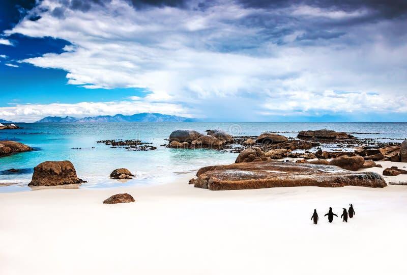 Pingüinos surafricanos salvajes fotografía de archivo