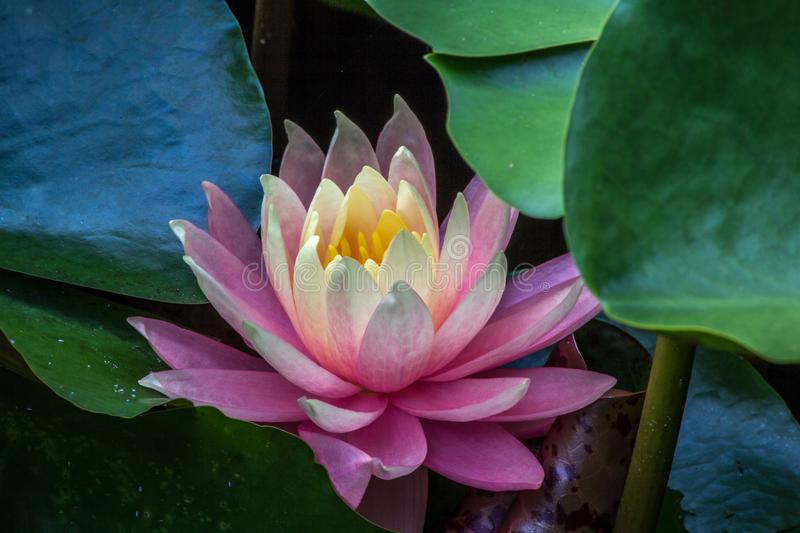 Pink water lilly flower among green leaves royalty free stock photos