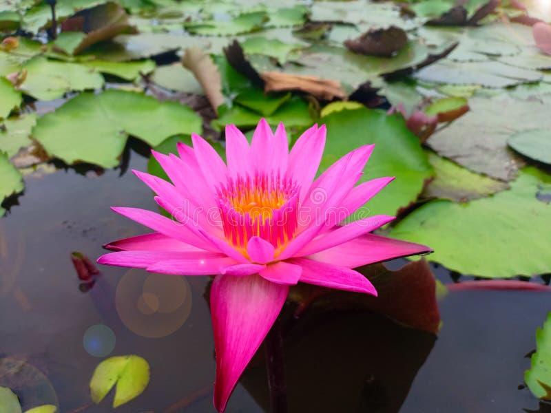 Ping lotus in lake royalty free stock photos