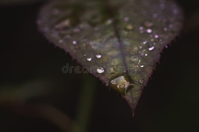 Pingo de chuva em uma folha cor-de-rosa fotos de stock