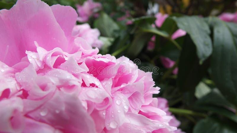 Pingos de chuva de florescência imagem de stock royalty free