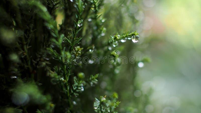 Pingos de chuva no pinho imagem de stock royalty free
