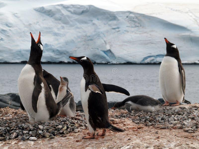 Pingouin photos libres de droits