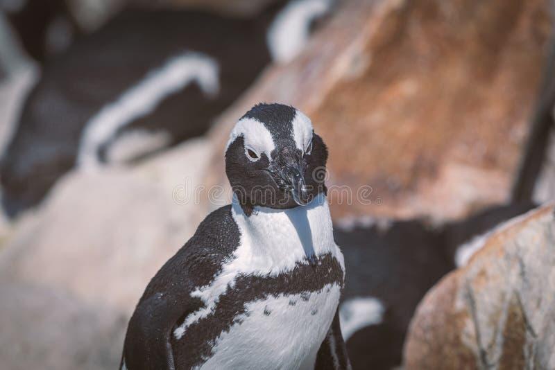 Pingouin africain à la colonie de pingouin image stock
