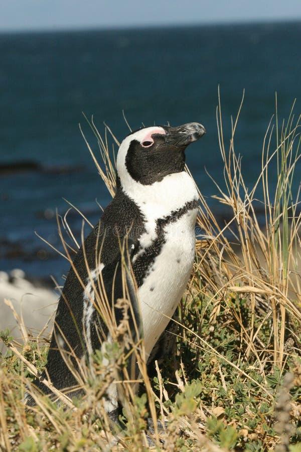 Pingouin africain photographie stock