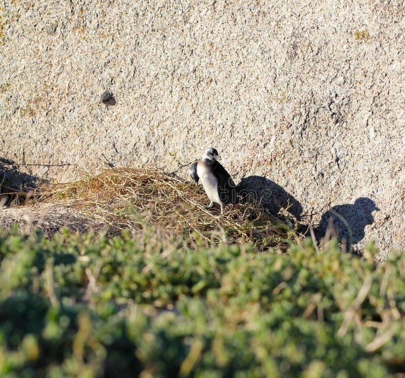 Pingouin africain de bébé de pingouin (demersus de Spheniscus), le Cap-Occidental, Afrique du Sud image libre de droits