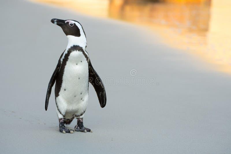 Pingouin africain sur la plage photo libre de droits